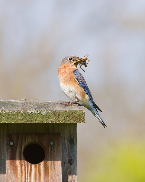 Bluebird at Aullwood Audubon Center and Farm