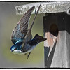 Aullwood's tree swallows - part 3