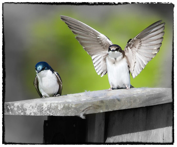 Aullwood's tree swallows - part 2
