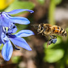 Pollinating at Aullwood Gardens