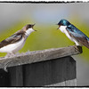 Aullwood's tree swallows - part 1