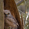 Great Horned Owlet - Charleston Falls Preserve