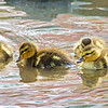Ducklings - Shawnee Park