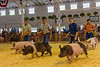 Junior Swine Showmanship contest at the Fair