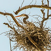 In a Great Blue Heron rookery near Xenia with over 50 nests.