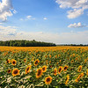 Sunflower field near Yellow Springs