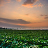 Soybean sunrise