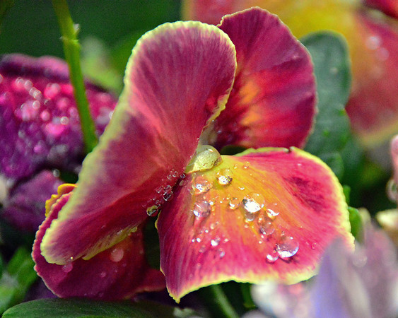 raindrops on Pansy