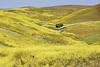 Mustard Hills