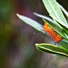 Caterpillar on Oleander