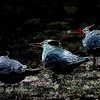Royal Terns_189101