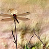 Dragonfly on Twig 00_3346 jpg