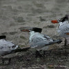 Royal Terns_189103