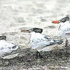 Royal Terns_189102