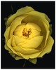 """<center>Robyn T. Lisone - """"Digital Blooms"""" <FONT COLOR=""""palegreen"""">Dorothy's Rose  <center><B><FONT COLOR=""""white"""">Fine Art Open Edition Prints (Special Order Only):  5 x 7 (print only) $15.00 8 x 10 (print only) $25.00 16 x 20 (print only) $55.00  <FONT COLOR=""""white"""">Please <a href=""""mailto:robyn@robynlisone.com"""">contact me</a> if you would like your print signed and matted for an additional cost. <br>"""