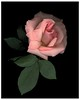 """<center>Robyn T. Lisone - """"Digital Blooms"""" <FONT COLOR=""""palegreen"""">Eleanor's Rose  <center><B><FONT COLOR=""""white"""">Fine Art Open Edition Prints (Special Order Only):  5 x 7 (print only) $15.00 8 x 10 (print only) $25.00 16 x 20 (print only) $55.00  <FONT COLOR=""""white"""">Please <a href=""""mailto:robyn@robynlisone.com"""">contact me</a> if you would like your print signed and matted for an additional cost. <br>"""