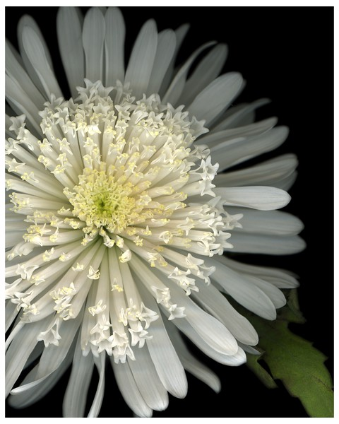"""<center>Robyn T. Lisone - """"Digital Blooms""""  <center><B><FONT COLOR=""""white"""">Fine Art Open Edition Prints (Special Order Only):  5 x 7 (print only) $15.00 8 x 10 (print only) $25.00 16 x 20 (print only) $55.00  <FONT COLOR=""""white"""">Please <a href=""""mailto:robyn@robynlisone.com"""">contact me</a> if you would like your print signed and matted for an additional cost. <br>"""