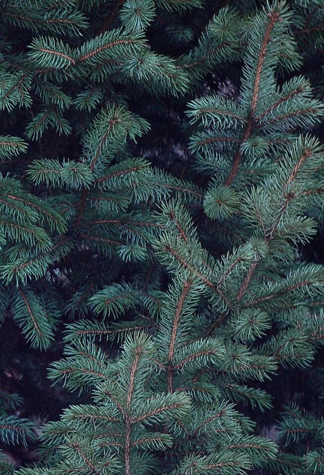 pointy pine tree