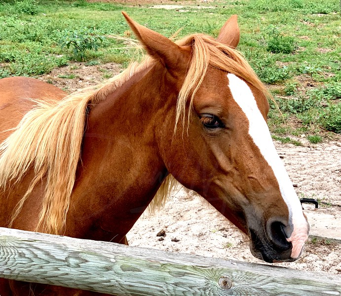 A Pony Of Assateague Island