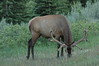grazing for hours in jasper national park, alberta canada (candian rockies)...