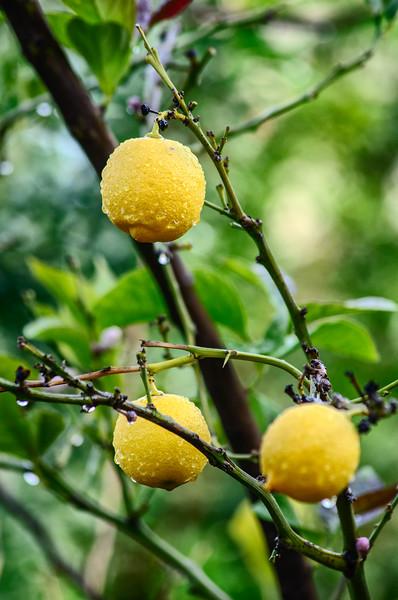 Lemon in rain