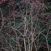 Euonymus europaeus, Pfaffenhütchen, Gewöhnlicher Spindelstrauch, European spindle, Schönbuch Wald, Baden-Württemberg, Deutschland