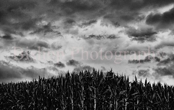 cornfield (1)