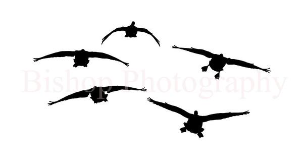 geese flight bw