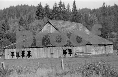 Black bear hides hanging on a barn in Francis, WA. Photo taken in 1971.