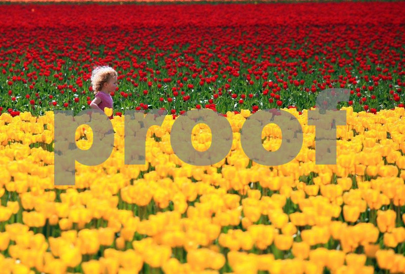 Tip toeing through the tulips is a child's dream come true. WA