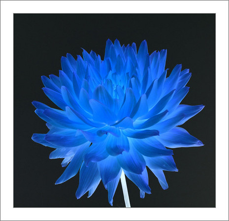 Dahlia Blues