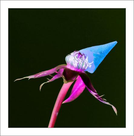 Rose Rebillion
