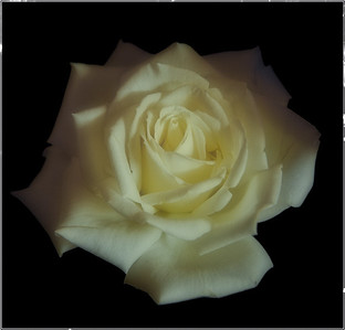 A rose in the dark