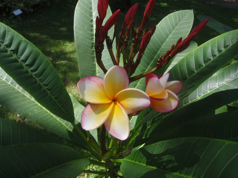"plumeria on the tree--they are everywhere in belize...<br /> <br />  <a href=""http://www.amazon.com/gp/product/1440473218/ref=cm_pdp_rev_itm_img_2"">http://www.amazon.com/gp/product/1440473218/ref=cm_pdp_rev_itm_img_2</a>"