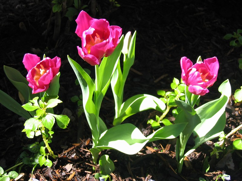 """tulips in the front yard of my memorial park home...<br />  <a href=""""http://www.amazon.com/gp/product/1440473218/ref=cm_pdp_rev_itm_img_2"""">http://www.amazon.com/gp/product/1440473218/ref=cm_pdp_rev_itm_img_2</a>"""