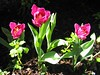 "tulips in the front yard of my memorial park home...<br />  <a href=""http://www.amazon.com/gp/product/1440473218/ref=cm_pdp_rev_itm_img_2"">http://www.amazon.com/gp/product/1440473218/ref=cm_pdp_rev_itm_img_2</a>"