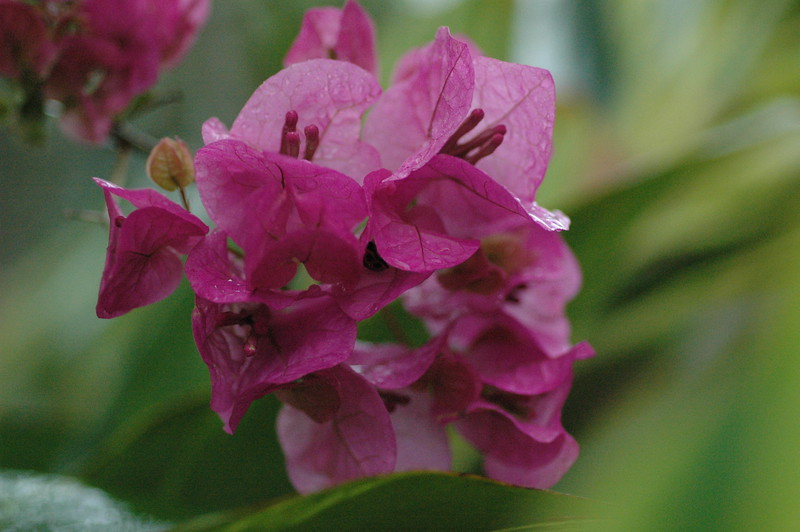 """...more bougainvillea...<br />  <a href=""""http://www.amazon.com/gp/product/1440473218/ref=cm_pdp_rev_itm_img_2"""">http://www.amazon.com/gp/product/1440473218/ref=cm_pdp_rev_itm_img_2</a>"""