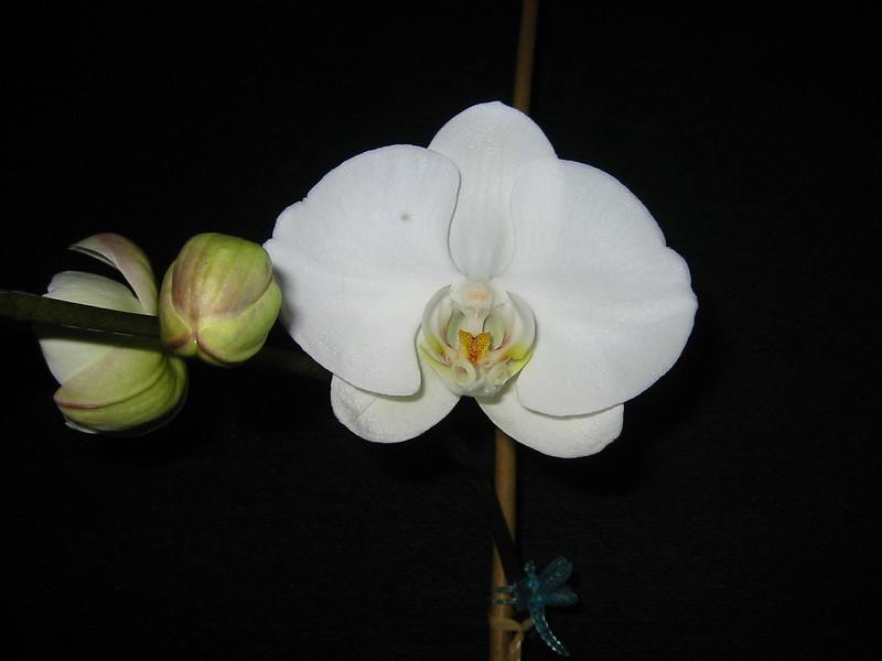 ...orchid in my dining room...this photo shows great detail (of the flowers anatomy)when blown up large...