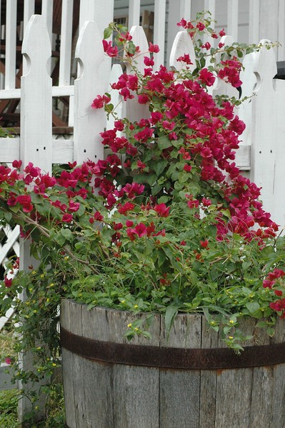 "..i love the bougainvillea...this one just seemed to belong in that empty barrel against the white picket fence...<br /> <br />  <a href=""http://www.amazon.com/gp/product/1440473218/ref=cm_pdp_rev_itm_img_2"">http://www.amazon.com/gp/product/1440473218/ref=cm_pdp_rev_itm_img_2</a>"