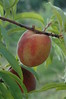 "....""do i dare to eat a peach""...always did love ""the lovesong of j. alfred prufrock by t.s. eliot...guess i shall wear my trousers rolled for my remaining days...this peach is from my brothers' orchard in stonewall texas (near fredericksberg) and makes for a great LARGE (24x36) print...and it made for a tasty snack as well..."