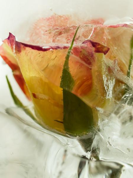Glacier <br /> Yellow Rose