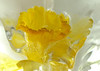 Daffodil Chill
