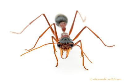 Myrmecia nigriceps bull ant.