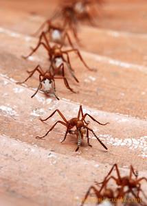 Eciton hamatum army ants.