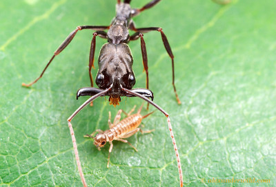 Odontomachus bauri trap-jaw ant.