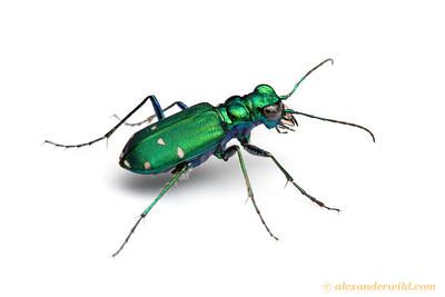 Cicindela sexguttata tiger beetle.