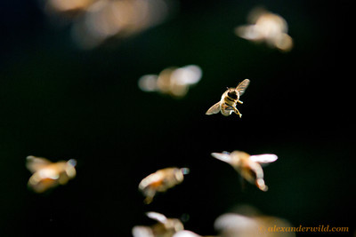 Honey bees return to their hive.