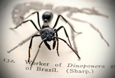 Dinoponera australis giant tropical ant.