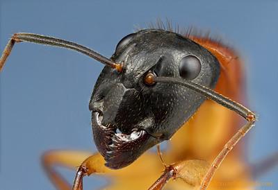 Camponotus nigriceps sugar ant.