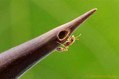Pseudomyrmex spinicola Acacia ant.